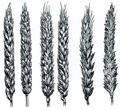 épis de blé anciens